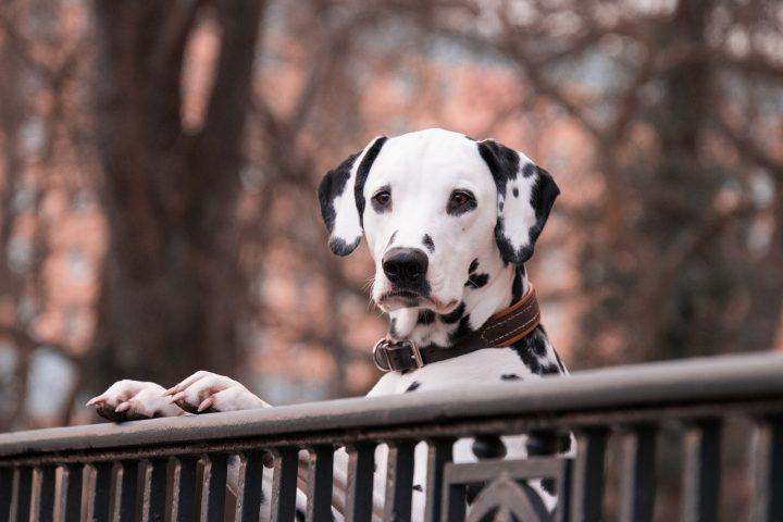 Collier chien